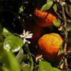 Quién plantó el primer naranjo en las calles de Sevilla - Lo que yo creo